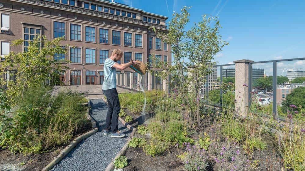 Man staat tussen plantjes en bomen op een groen-blauw dak in Amsterdam. Hij strooit voedingsstoffen uit over de plantjes.
